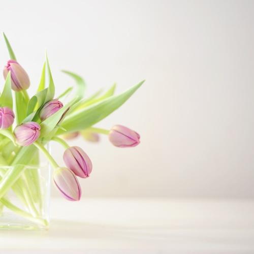 tulipanes16
